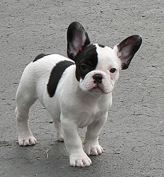 French Bulldog Colors - Dream Valley Frenchies
