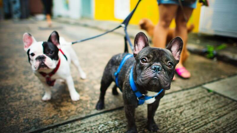 Why Frenchies are Great Dogs for Emotional Support