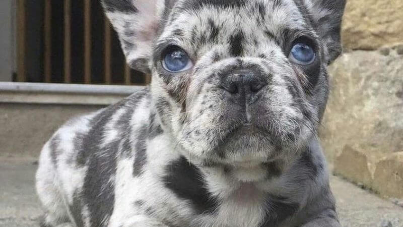 8 Things You Need to Know About Merle French Bulldogs