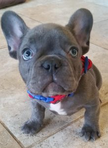 French Bulldog Colors Dream Valley