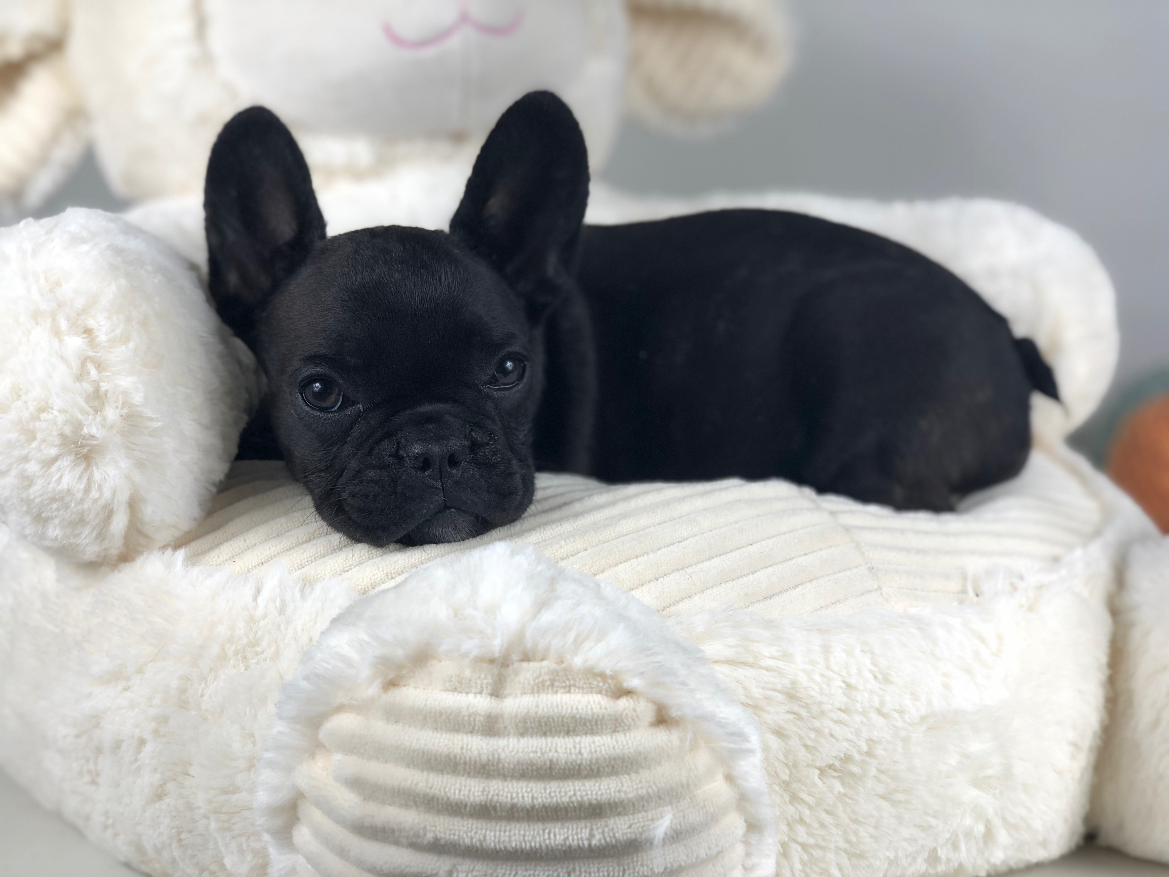 Our Guide French Bulldog Colors And Color Patterns Dream
