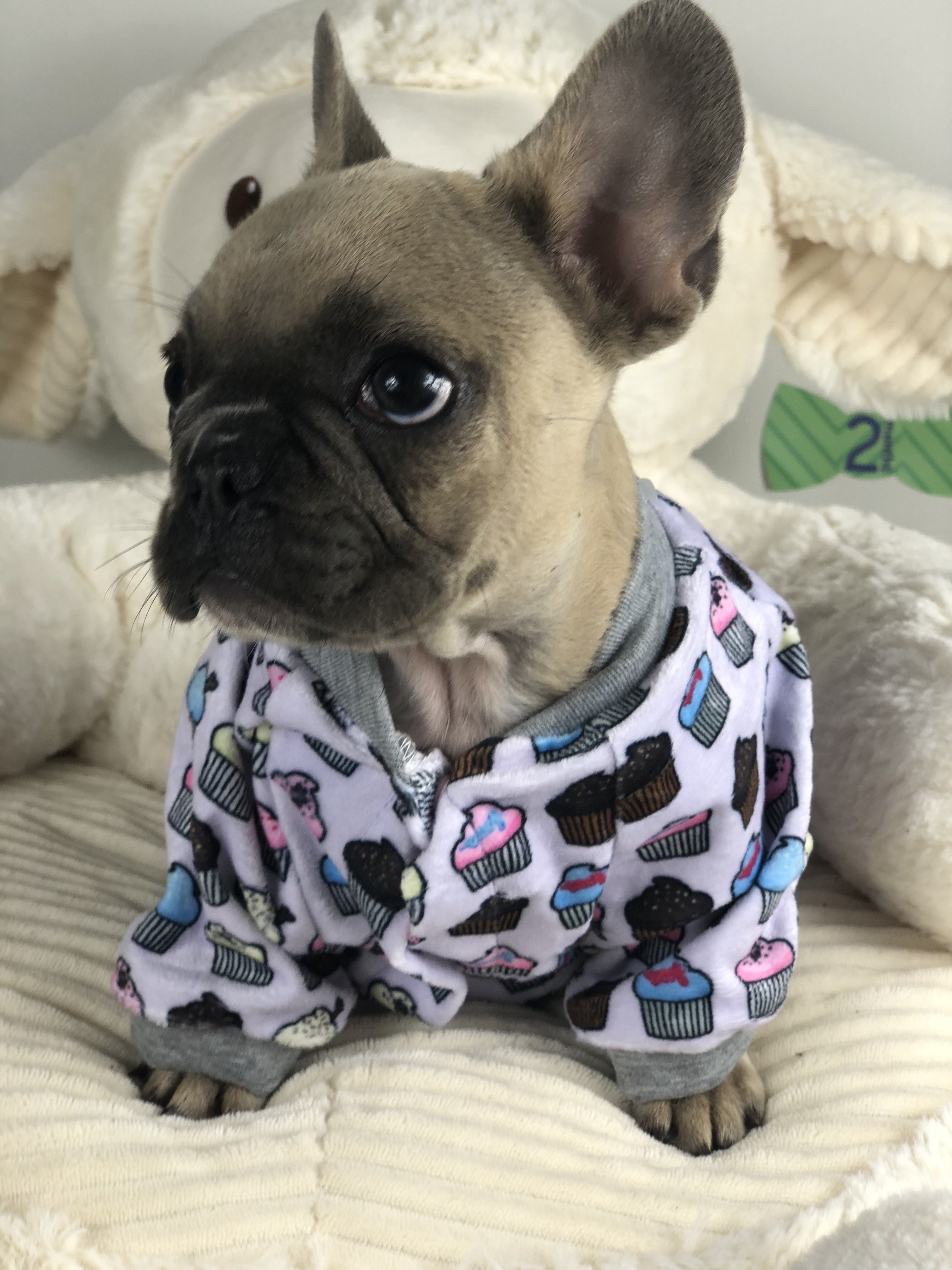 Our Guide French Bulldog Colors And Color Patterns