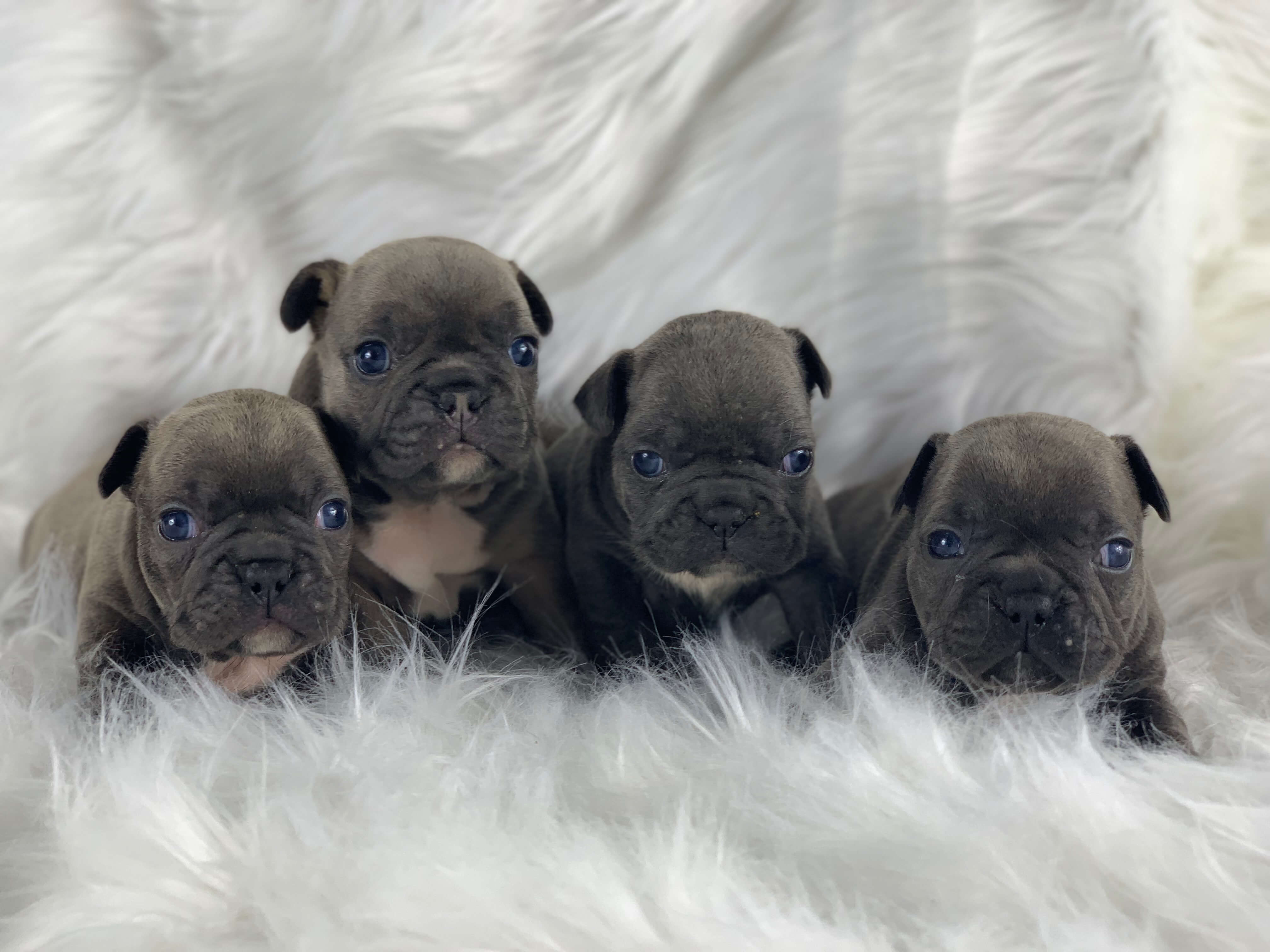 Frenchies for Sale in Austin, Texas | DreamValleyFrenchies