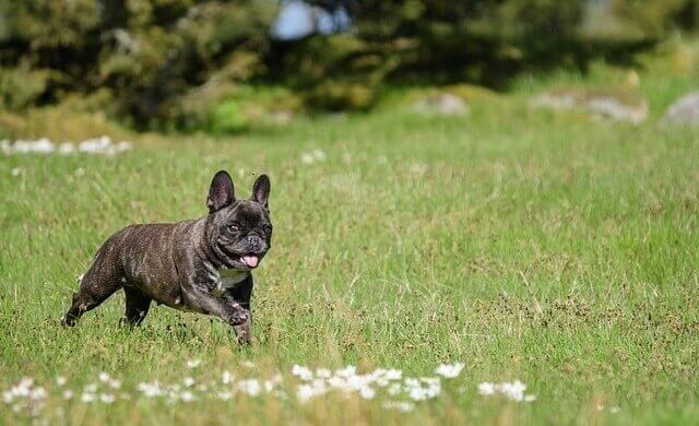 how much does a french bulldog cost how much does a french bulldog cost 3240