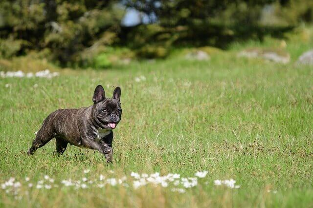 How Much Does a French Bulldog Cost?