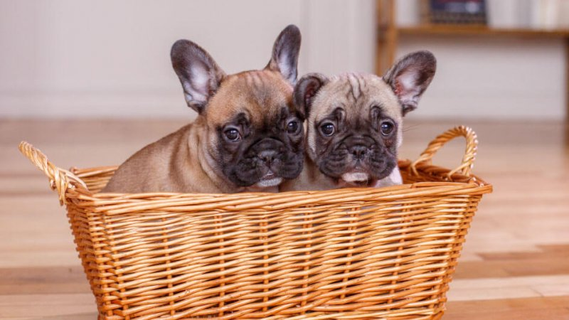 Top 5 Reasons to Get a Second French Bulldog