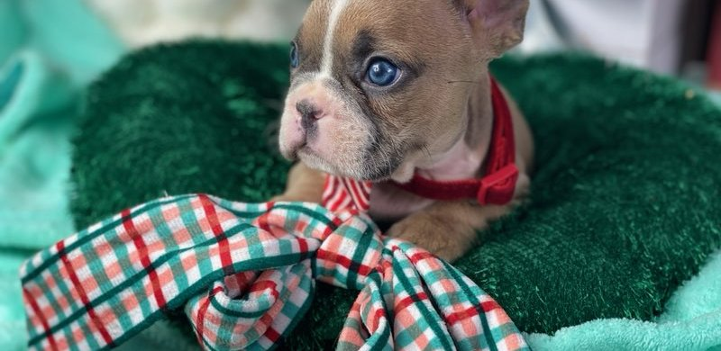 Top 10 French Bulldog Christmas Gifts